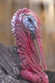 image of gobbler  - Ugly breed of Wild Turkey close up nasty and scary looking - JPG