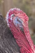 stock photo of gobbler  - Ugly breed of Wild Turkey close up nasty and scary looking - JPG