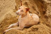 foto of stray dog  - thai stray dog lying on sand floor - JPG