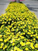 picture of lantana  - bed of yellow Lantana camara flowers Fuengirola Andalucia - JPG