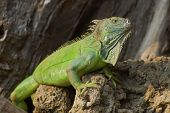 picture of lizard skin  - Wild Reptile Lizard Iguana Under the Sun - JPG