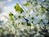 picture of may-flower  - Cherry flowers closeup amid gardens and sky in mid-may ** Note: Shallow depth of field - JPG