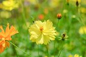 stock photo of cosmos flowers  - yellow cosmos flower blossom in the garden - JPG