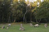 foto of saracen  - Sheep graze among Nine Ladies Stone Circle Stanton Moor Derbyshire UK - JPG
