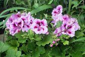 foto of geranium  - Pink Geranium closeup buds and leaves in May garden - JPG
