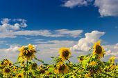 stock photo of cumulus-clouds  - Sunflowers against the blue sky with cumulus clouds