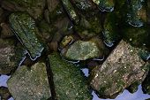 picture of green algae  - Stones in the water covered by green algae - JPG