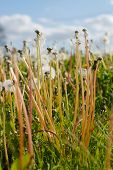 picture of blowing  - Dandelion blow balls and stalks in Spring - JPG