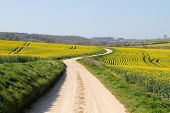 picture of track field  - Meandering foot path dirt track winding through farmland fields of bright yellow rape seed oil crops - JPG
