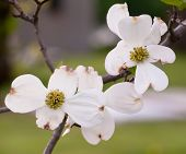 pic of dogwood  - Dogwood flower with a blurred background from Pittsburgh - JPG