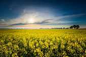 stock photo of rape  - Rape field landscape - JPG