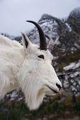 foto of rocky-mountains  - Rocky Mountain Goat or simply Mountain Goat  - JPG