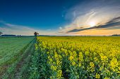 picture of rape  - Rape field landscape - JPG