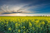 foto of rape  - Rape field landscape - JPG