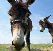 picture of donkey  - Funny donkey - JPG