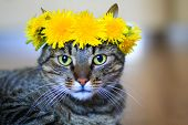 stock photo of domestic cat  - domestic pet tabby cat wearing flower crown of spring dandelions - JPG