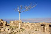 stock photo of masada  - Dead tree between ruins of the zealot fortress Masada the Dead sea on background at sunset - JPG