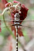 stock photo of carnivorous plants  - A Didymops transvera stream cruiser dragonfly perches on a plant with red leaves in a midwestern United States of America forest in this macro photo - JPG