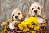 picture of buff  - litter of american cocker spaniel puppies and dandelions - JPG
