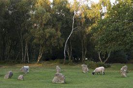 stock photo of saracen  - Sheep graze among Nine Ladies Stone Circle Stanton Moor Derbyshire UK - JPG