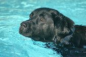 image of swimming pool family  - a black labrador retriever dog swimming in the swimming - JPG
