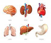 Постер, плакат: Human internal organs anatomy in cartoon vector style
