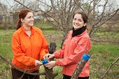 stock photo of graff  - Two young women inarching branch to tree at orchard in spring - JPG