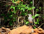 image of mockingbird  - Northern Mockingbird foraging for seeds and insects - JPG
