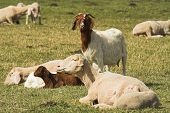 picture of feedlot  - goat and sheeps on a meadow on a farm - JPG