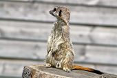 picture of mear  - a male meerkat sat on a tree stump - JPG