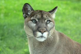 picture of cougar  - Closeup of cougar or mountain lion in the grass - JPG