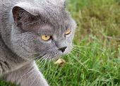 British Shorthair Cat Hunts On Green Grass poster