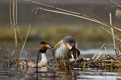 image of great crested grebe  - great crested grebe are courting on their nest - JPG