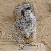 Meerkat, On Guard, In Wildlife Park Enclosure poster