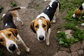 stock photo of foxhound  - Rack of hounds dogs in the summer morning - JPG