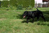 Black Dog Portrait - Labrador Hybrid And Retriever.puppy 5 Months Old Labrador Is Running On Grass. poster