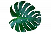 Monstera Leaves Lush Decorating For Composition Design Style Exotic. Tropical Palm Philodendron Leaf poster