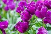 Tulip Flower In Garden. Tulip Flower At Sunny Summer Or Spring Day. Flower For Postcard Beauty And D poster