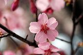 picture of cherry blossom  - A macro shot of a beautiful cherry blossom flower - JPG