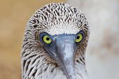 stock photo of blue footed booby  - Eye contact with a blue - JPG