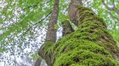 Tree With Moss On Roots In A Green Forest Or Moss On Tree Trunk. Tree Bark With Green Moss. Selectiv poster