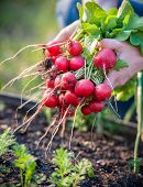 stock photo of root-crops  - woman picking fresh radish from her garden - JPG