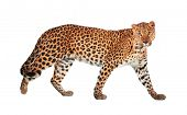 stock photo of ocelot  - Leopard - JPG