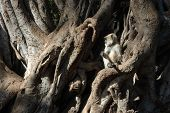picture of hanuman  - Gray  - JPG