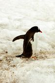Gentoo Penguine Walking In Snow, Antarctica