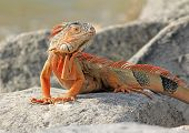 stock photo of florida-orange  - Bright orange iguana  - JPG