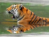stock photo of tigress  - Siberian Tiger in water  - JPG