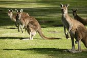 stock photo of kangaroo  - Australian Western Grey Kangaroos in open bushland - JPG