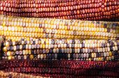 stock photo of maize  - Maize corn, also called Indian corn, is very colorful.