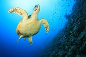 stock photo of hawksbill turtle  - Hawksbill Sea Turtle swims over coral reef - JPG